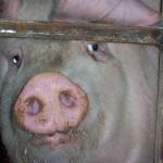 Farmed Pig aka Ham