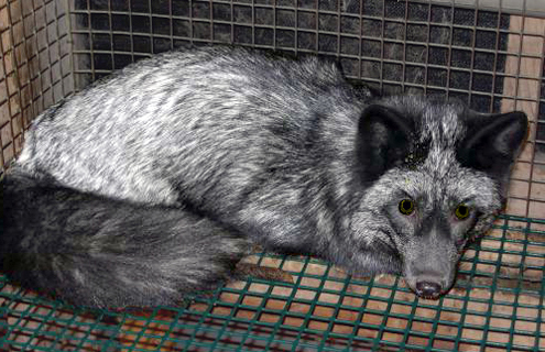 Quebec and Its Fur Farming Industry