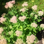 Sedum Turning Pink