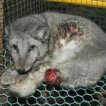 Farmed Fox