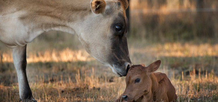 Clarabelle the Cow, a Forever Mother at Last