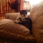 Chimpy in the Lap of Luxury