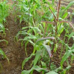 Stalks in a Field