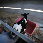 Kidnapping a Baby Cow