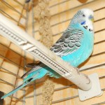 Caged Budgie