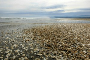 Dead clams on Chilean shores