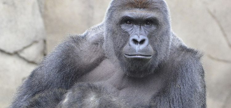 The Life and Death of Harambe: Captivity in the Cincinnati Zoo