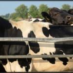 Farmed Cow