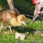 Mama Turkey and Baby
