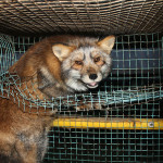 Fur Farmed fox
