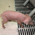 Piglet, Alone and Afraid