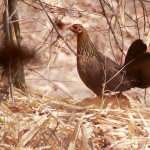 Free Wild Red Junglefowl