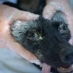 Farmed For Fur Fox