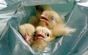 Suffocating Male Chicks