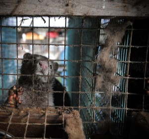 Confined Mink in Squalid conditions