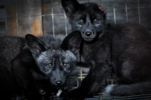 confined and Injured Silver Foxes