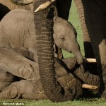 Grieving Baby elephant