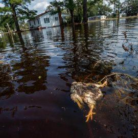 Veganism and the doomed farmed animals of North Carolina
